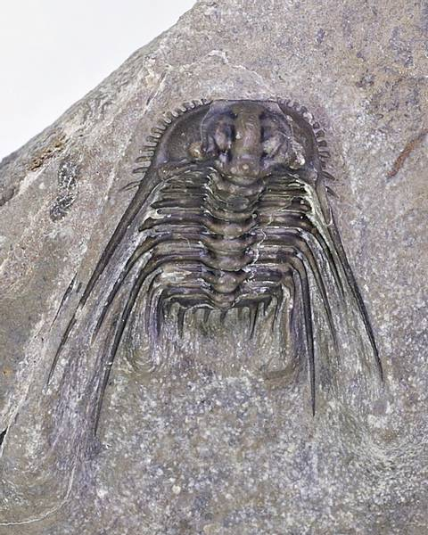Bilde av Trilobitt (Leonaspis sp.)