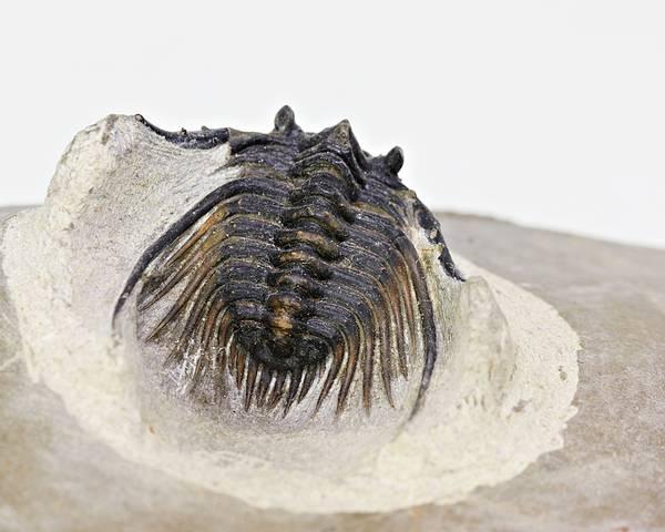 Bilde av Trilobitt, Kettneraspis sp.
