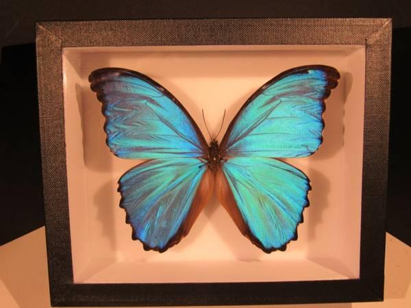 Bilde av Morpho-sommerfugl (18 x 15 cm ramme)
