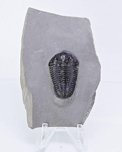 Bilde av Trilobitt (Calymene niagarensis)