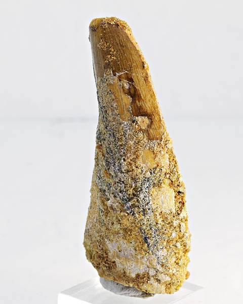 Bilde av Tann av Carcharodontosaurus saharicus