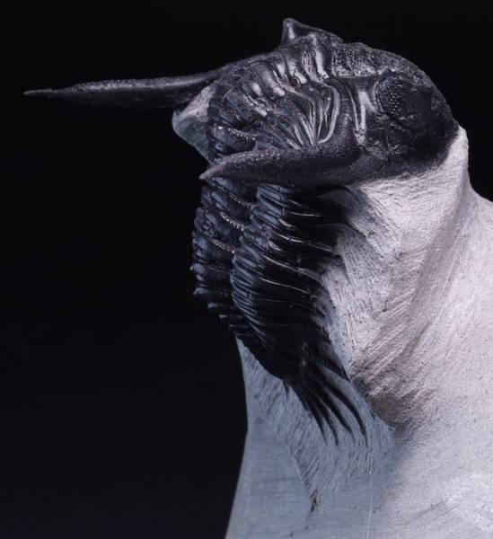 Bilde av Trilobitt (Kayserops marocanensis)