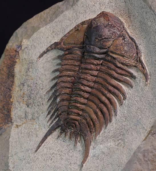 Bilde av Trilobitt (Foulonia sp.)