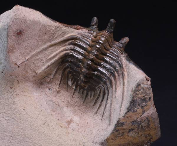 Bilde av Trilobitt (Kettneraspis presheri)