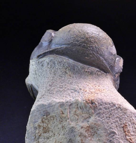 Bilde av  Trilobitt (Reedops cephalotes)