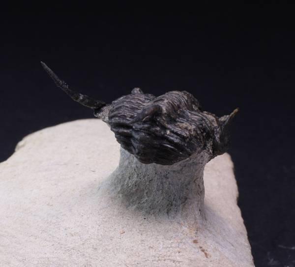 Bilde av Trilobitt (Cyphaspis eberhardiei)