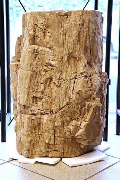 Bilde av Diger fossil trestubbe fra Indonesia