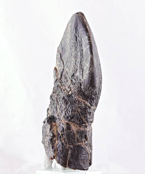 Bilde av Camarasaurus-tann, 7,6 cm