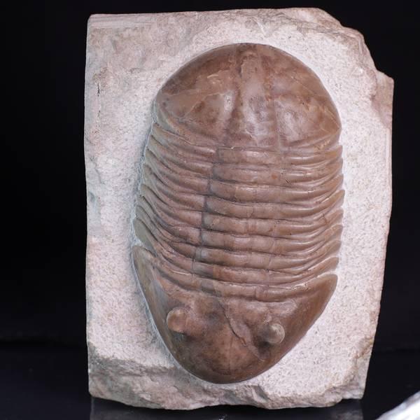 Bilde av Trilobitt (Asaphus latus)