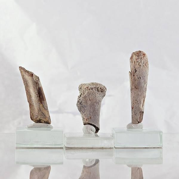 Bilde av Små dinosaurknokler, 66-67 mill. år