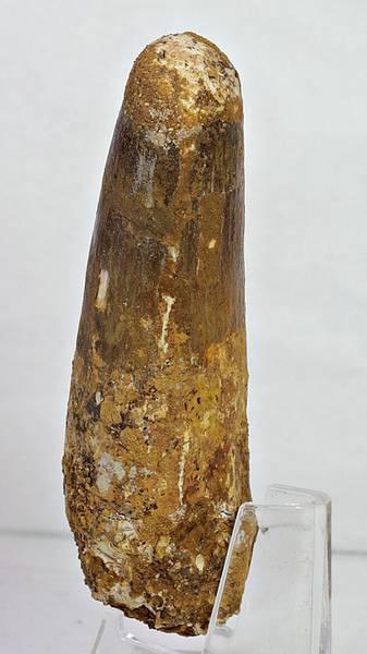 Bilde av Spinosaurustann i ramme, 9,8 cm