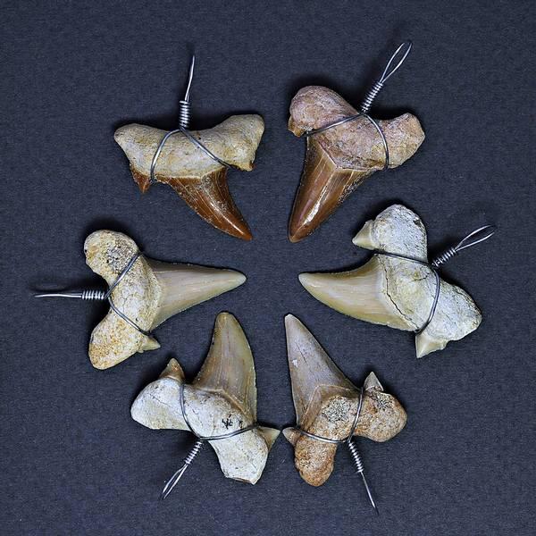Bilde av Anheng med fossil haitann (Otodus)