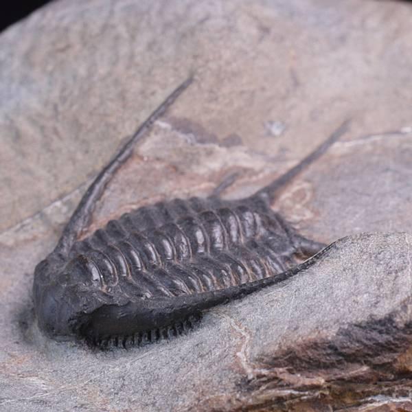 Bilde av Trilobitt (Chlustinia keyserlingi)