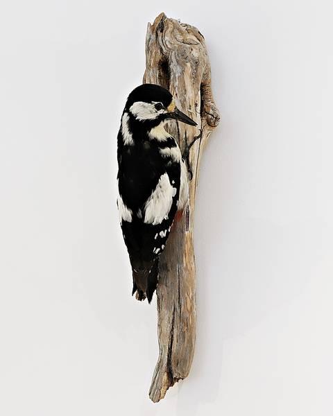 Bilde av Flaggspett (Dendrocopos major)