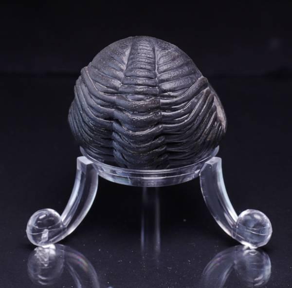 Bilde av Sammenrullet  trilobitt (Pedinopariops sp.)