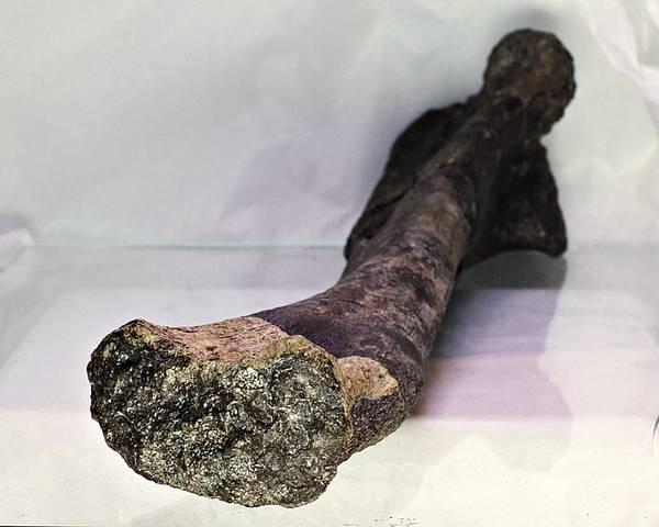 Bilde av Leggbein (ulna) av Tenontosaurus tilletti