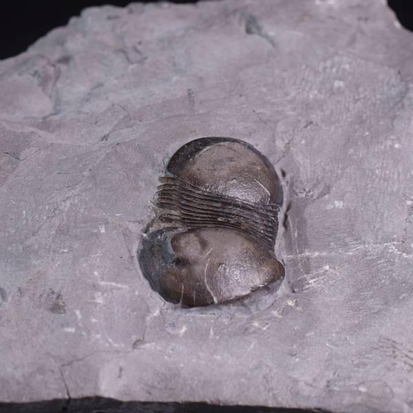 Bilde av Trilobitt (Bumastus ioxus)