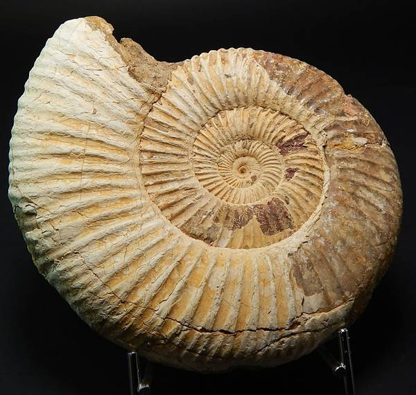 Bilde av  Ammonitt (Perisphinctes sp)