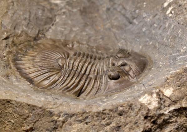 Bilde av  Trilobitt (Scabriscutellum furciferum)