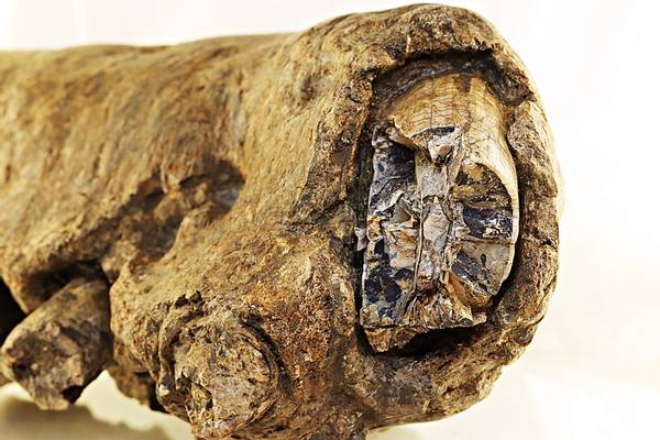 Bilde av Fossil underkjeve av flodhest