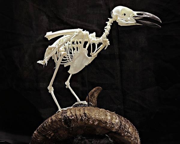 Bilde av Skjelett av ravn (Corvus corax) med sauehorn