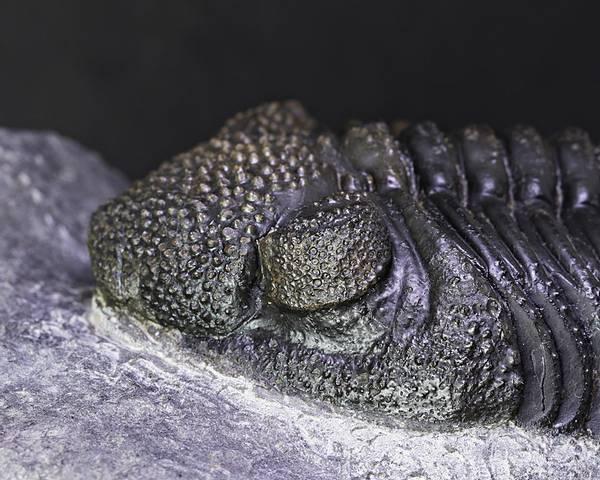 Bilde av Drotops megalomanicus