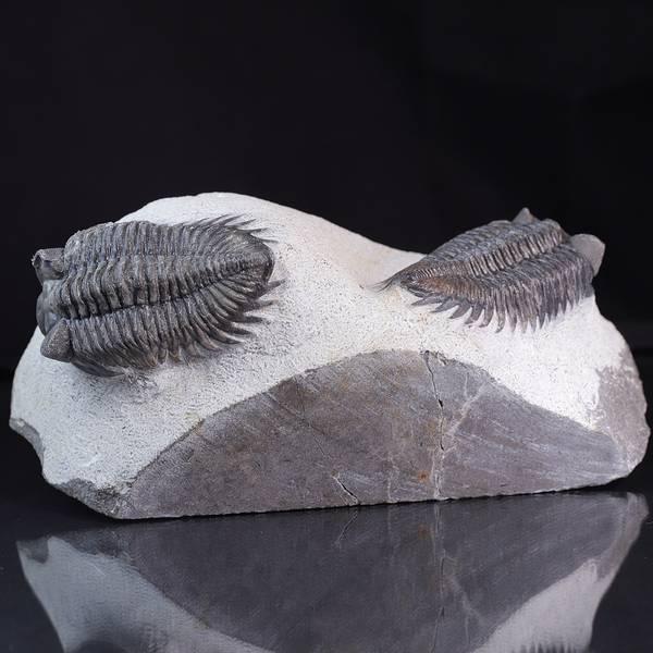 Bilde av To flotte trilobitter sammen (Coltraneia oufatensis)