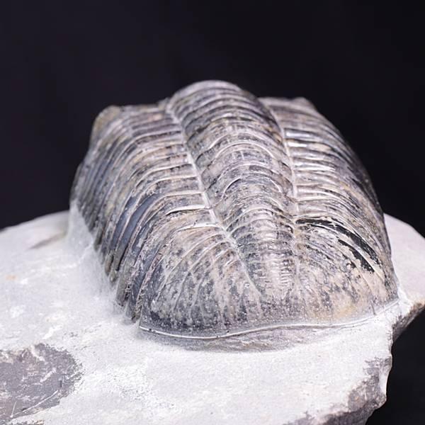 Bilde av Trilobitt (Pedinopariops vagabundus)