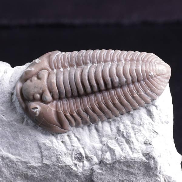 Bilde av Trilobitt (Flexicalymene retrosa) Ohio
