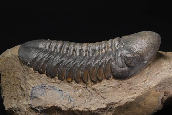 Bilde av Trilobitt (Reedops hamalagdadianus)