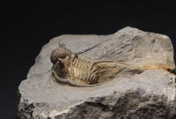 Bilde av Trilobitt (Cyphaspis eberhardei)