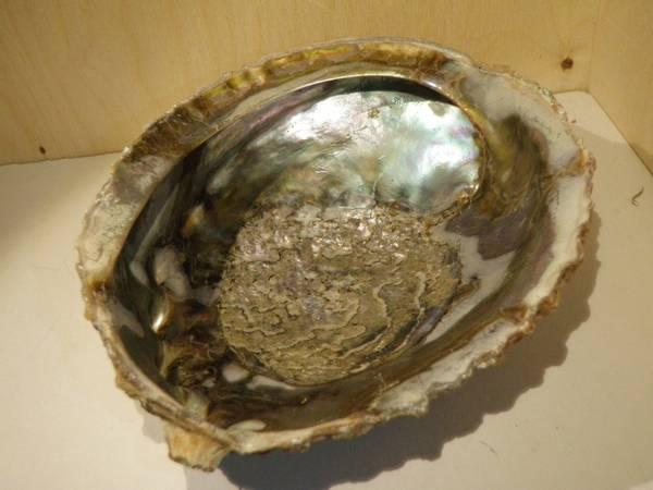 Bilde av Helt abaloneskjell, stort