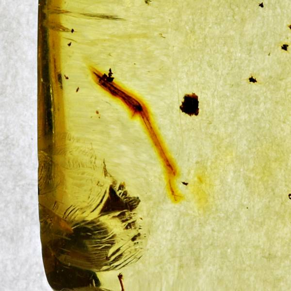Bilde av Polert rav med et insektbein fra Chiapas, Mexico