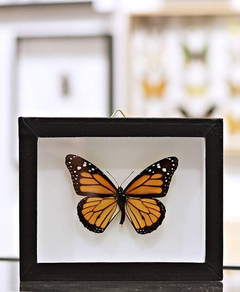 Bilde av Monarksommerfugl (Danaus plexippus) i ramme