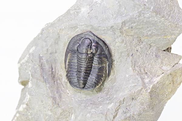 Bilde av Diademaproetus rudimentus
