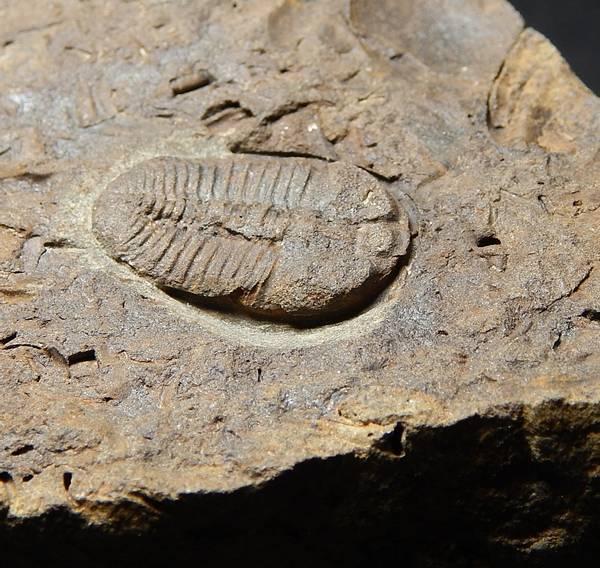 Bilde av  Trilobitt (Ctenocephalus coronatus)