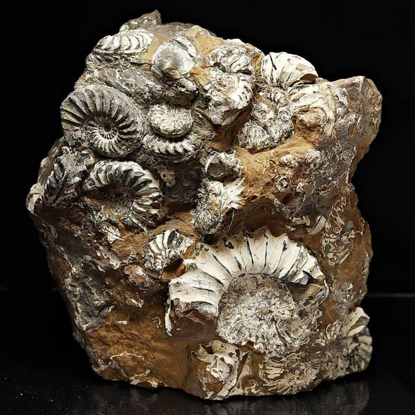 Bilde av Pleuroceras spinatum