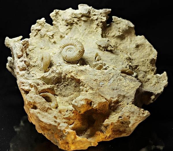 Bilde av Garantiana og Spiroceras