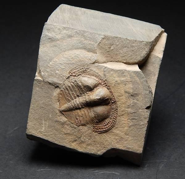 Bilde av  Trilobitt (Deanaspis senftenbergi)