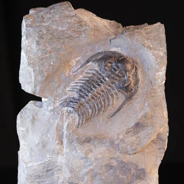 Bilde av Sjelden norsk trilobitt (Holmia sp.)