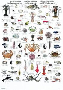 Bilde av Spiselige skalldyr og muslinger - Plansje B70 x H100