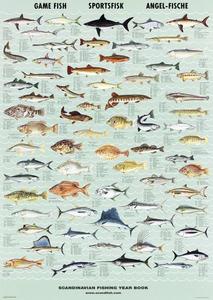 Bilde av Sportsfisk (Game fish) - Plansje B70 x H100