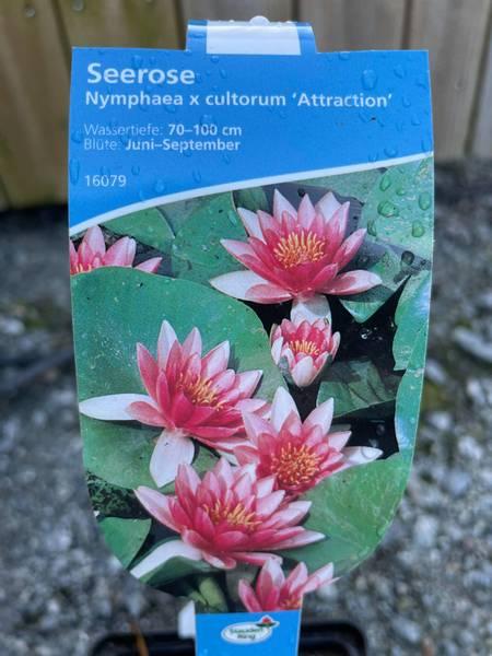 Nymphaea cultorum attraction
