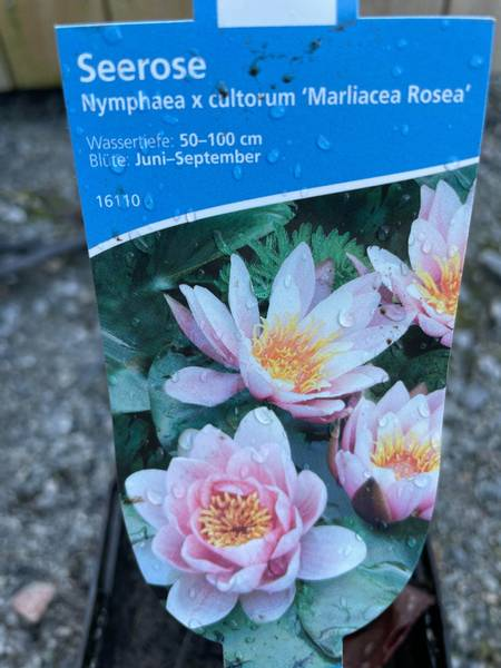 Nymphea cultorum Marliacea Rosea
