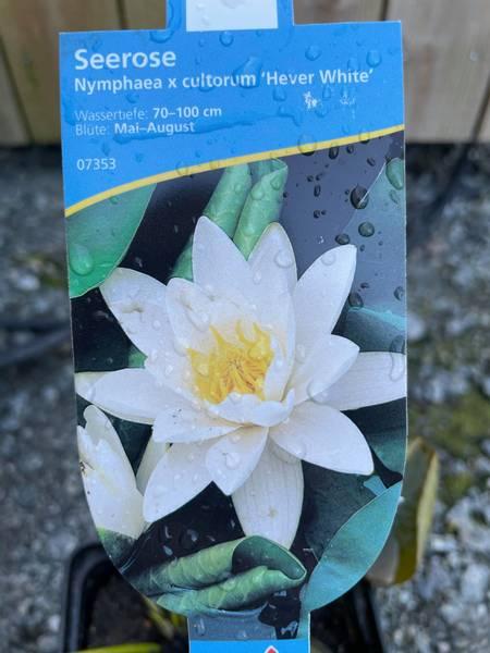 Nymphea cultorum Hever white