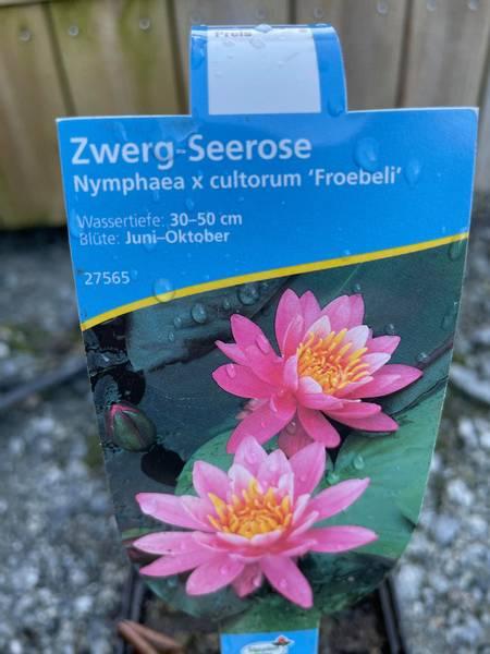 Nymphea cultorum Froebeli