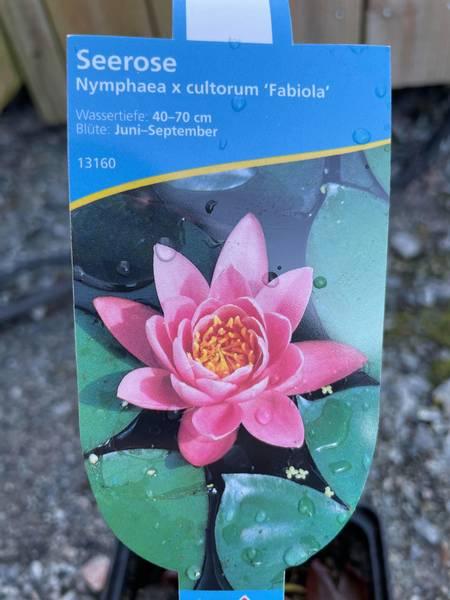 Nymphea cultorum Fabiola