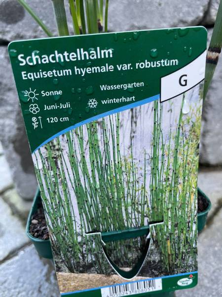 Equisetum hyemale robustum