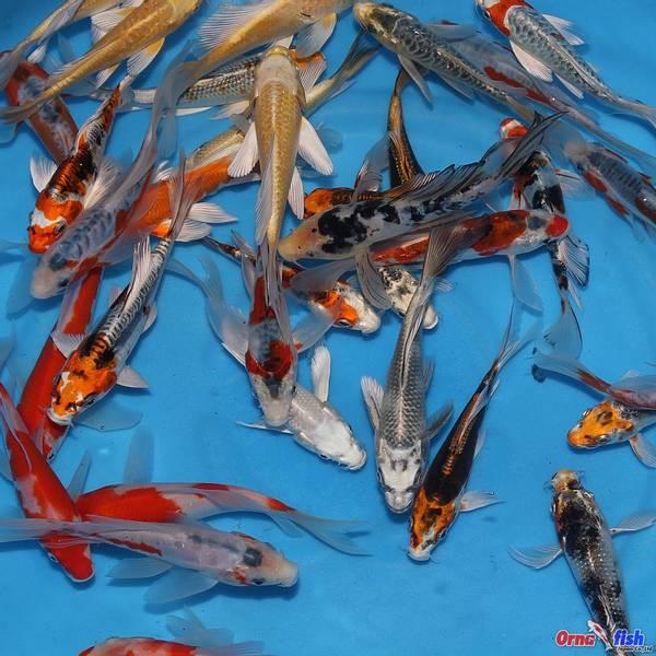 Yamasan Tosai longfin mix 12-15cm UTSOLGT