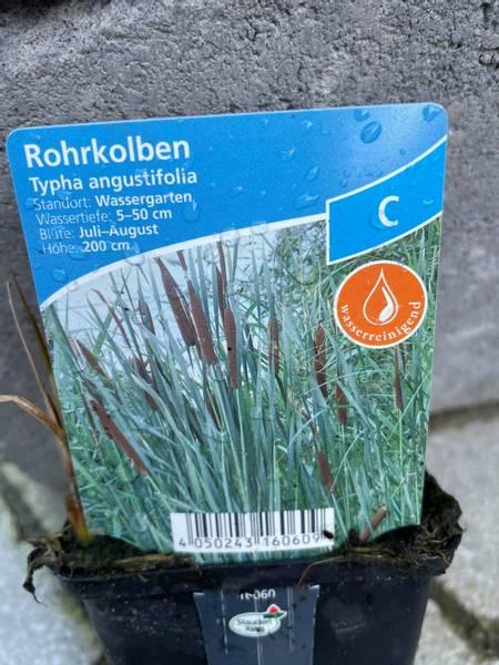 Typha angustifolia Smalbladet dunkjevle